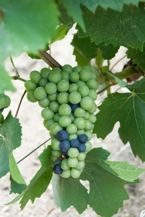 Changing colours of Champagne grapes