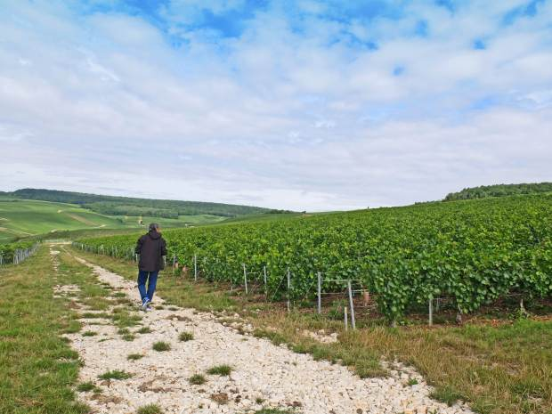 Dad walking through a Champagne vineyard
