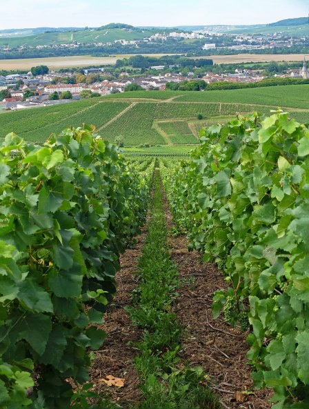 A vineyard in Epernay