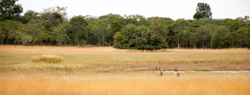 Antelopes grazing as seen during the Chaminuka game drive