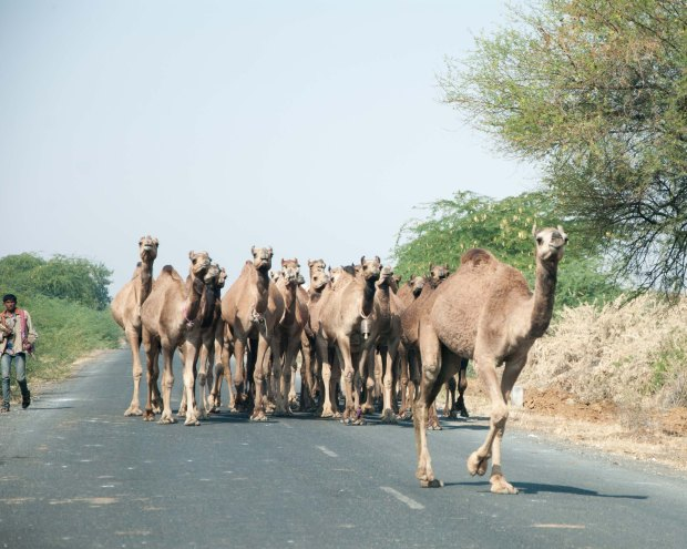A classic Kutch traffic jam featuring camels